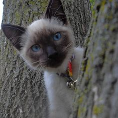 Wow, look @ this Siamese Kitty...beautiful !