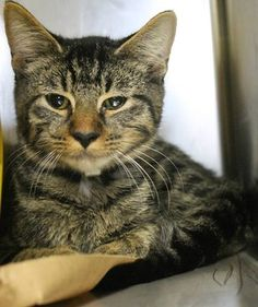 Budda: With tears in his eyes, beautiful tabby waits for death at SC shelter ** The shelter in Greenville, South Carolina is full. This sweet baby may only have a few days left.  OUT OF TIME!! NAME: Budda ANIMAL ID: 23844883 BREED: DSH SEX: Male EST. AGE: 4 mos Est Weight: 3.10 lbs Health: Temperament: friendly