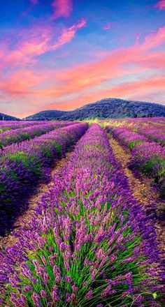Beautiful lavender in the daytime