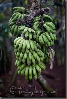 Green bananas hang from a tree in the Guantanamo countryside Keywords: Stock Photo Picture Cuba Cuban Spanish Speaking Countries Latin America Guantánamo Cuban Countryside Vertical Bananas Wild Fruit Green Fresh Food Guantanamo
