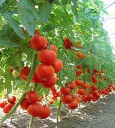 Cultivarea rosiilor: tratamente bio care va scapa de daunatori si va maresc productia | StiriAgricole.ro Solar, Yard, Vegetables, Fruit, Flowers, Nature, Gardening, Gardens, Permaculture