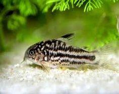 nanus-corydoras-catfish