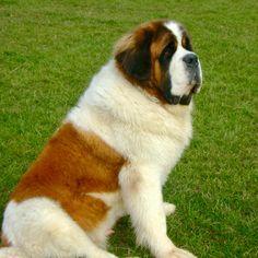 Giant Teddy Bear, Teddy Bear Dog, Bear Dogs, Doggies, Little Puppies, Dogs And Puppies, Newfoundland Puppies, St Bernard Puppy, Saint Bernards