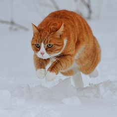 Did You Know, That When There's Snow, CAT'S CAN FLY?  Muffi by Mats, via Flickr