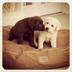 The LLBean puppies.