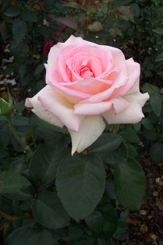 Pink Promise.' This fragrant hybrid tea rose is the official rose of the American Breast Cancer Society,