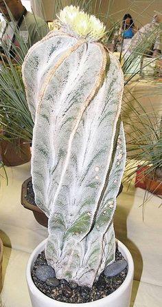 A strange looking cactus.  Pretty flowers though.   -  Astrophytum myriostigma-8-