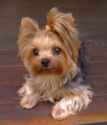 """I only nipped the mailman!"" #dogs #pets #YorkshireTerriers Facebook.com/sodoggonefunny"