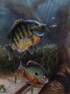 'Panning' for Gold by scottiewhigham on DeviantArt Bass Fishing Pictures, Animal Paintings, Fish Paintings, Fish Artwork, Panning For Gold, Watercolor Artwork, Watercolour, Fish Quilt, Underwater Art
