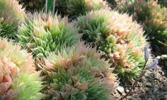 6 Wonderfully Weird Succulents (Slideshow) Haworthia Cooperi  Another succulent native to Southern Africa.