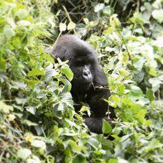 Experience magnificent silverbacks in the wild on our Community Volunteering & Gorilla Trekking, project in Rwanda this summer 🌿 #bepartofthechange www.questoverseas.com/event/Rwanda-summer/