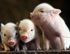 For owners of teacup pigs. Check out these cute little piggies. A teacup pig is the same as a micro-mini pig or potbellied pig. Teacup pigs grow to about the size of a small spaniel around 65 pounds and inches long. Animal Crackers, Baby Piglets, Micro Piglets, Miniature Pigs, Pot Belly Pigs, Teacup Pigs, Cute Pigs, Tier Fotos, Little Pigs