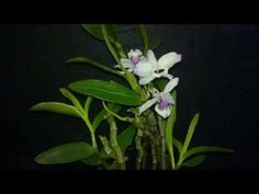 cuidado de orquídeas... salvando una phalaenopsis - YouTube