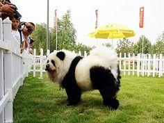 V Číně mohou psi vypadat i jako tygři nebo pandy– Novinky.cz