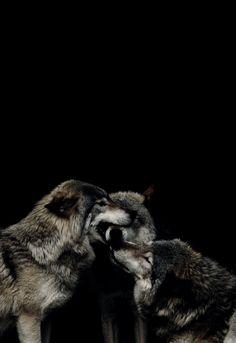 2018 年の pretty wolves のおすすめ画像 2308 件 pinterest