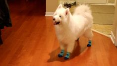 This fluffy dog who is very excited to be wearing tiny blue socks. | 29 Things That Are Way More Important Than Work Right Now