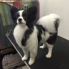 Dog grooming ways to groom a papillons coat youtube instagram analytics solutioingenieria Choice Image