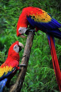 ~~Meeting Of The Macaws by Harry Spitz~~ parrot Tropical Birds, Exotic Birds, Colorful Birds, Exotic Pets, Big Bird, Small Birds, Little Birds, Pretty Birds, Beautiful Birds
