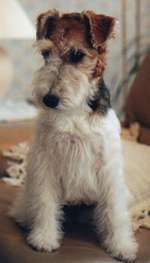 Wire Fox Terrier Puppies