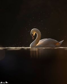 "Nuts About Birds Est 2013 on Instagram: ""Presents 🌟 N U T S A B O U T B I R D S Photographer: @andyparkinsonphoto C O N T E N T: Mute swan 🦢(Cygnus olor) L O C A T I O N:…"" Cygnus Olor, Mute Swan, Wild Photography, Artist Gallery, Presents, 1, Birds, Instagram, Outdoor"