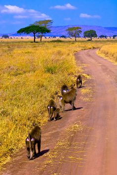 A troop of #baboons @ Serengeti National Park in #Tanzania. For a #Serengeti travel guide visit www.safaribookings.com/serengeti