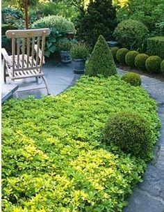 Varjoyrtti, osa lajeista kestää myös kuivuutta! Pachysandra terminalis and clipped Buxus topiary