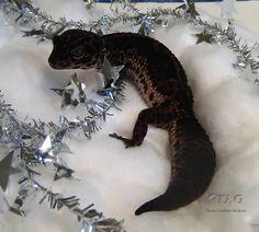Black velvet morph leopard gecko