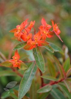 spurge Euphorbia fire glow or selected form E. griffithii 'Dixter' with more chestnutty leaves