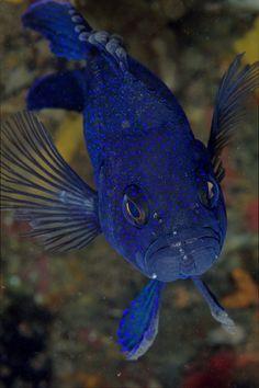 Southern Blue Devil   da PacificKlaus