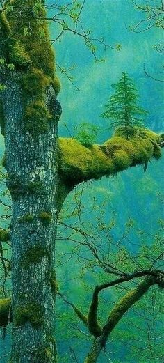 The Wonder Tree, Klamath, California - A natural bonsai tree, credit given to mother nature.