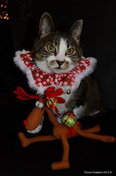 Festive Kitty  Christmas cat