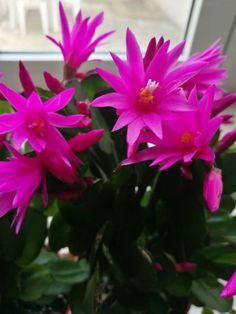 Húsvéti kaktusz virágzásának rejtélye | Balkonada Wonderful Flowers, Succulents, Plants, Gardening, Garten, Succulent Plants, Planters, Lawn And Garden, Garden