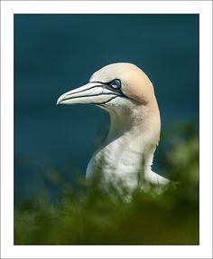 Gannet portrait by Mister Oy, via Flickr