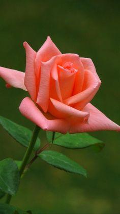 when do hybrid tea roses bloom Beautiful Rose Flowers, Pretty Roses, Flowers Nature, Amazing Flowers, Beautiful Flowers, Orange Roses, Pink Roses, Rosa Rose, Hybrid Tea Roses