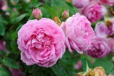 Rosa 'Blomsterhult' Bourbonrosen 'Blomsterhult' växer på nästan varje gård i byn Blomsterhult, mellan Öljaren och Hjälmaren i västra Sörmland. Rosen kom till byn för 1920. kan bli 3 m höga och nästa lika breda. Krafiga blomskott ger ofta 10-20 blommor, som är 7-9 cm i diameter och tätt fyllda med upp till 100 kronblad, ibland betydligt fler.