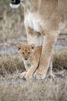 Africa | Lion cub standing between its mother's legs. Kruger National Park, South Africa | © Art Wolfe