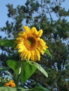 Gigantico sunflower-birds loved it!