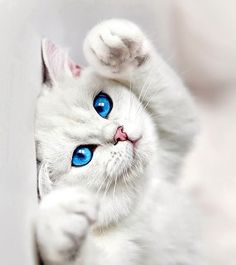 Outstanding pretty cats information are available on our website. Cute Cats And Kittens, I Love Cats, Kittens Cutest, Pretty Cats, Beautiful Cats, Animals Beautiful, Baby Animals, Funny Animals, Cute Animals