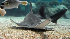 Virgin-born sawfish? A new study says its not only possible, but happening in Florida.