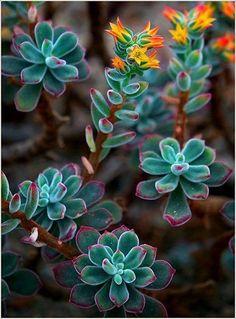 Suculenta floreando Nombre botánico: Echeveria pulvinata, el nombre comun es Echeveria peluda (Ruby Blush) de la familia Crassulaceae su origen Mexico.