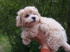 Maltipoo it looks like my cousins dog Louis! I Love Dogs, Puppy Love, Cute Dogs, Maltipoo Puppies, Maltese Poodle, Mans Best Friend, Adorable Animals, Doggies, Doodle