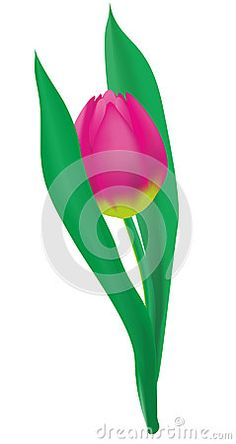 Pink Tulip with two leaves on white background