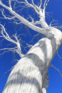 This dead Snowgum from the devastating bush fires of 2003 is still standing tall and beautiful in its silver, bleached glory and I was able to capture it against the clear blue sky by lying down backwards over a rock in the snow.............just beautiful!