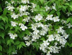 Pikkujasmike Prunus, Herbs, Garden Ideas, Herb, Peach, Landscaping Ideas, Backyard Ideas, Medicinal Plants