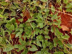 Ipomoea bathycolpos - Google Search African Plants, Creepers, Habitats, Perennials, Herbs, Climbers, Photographs, Photos, Flowers