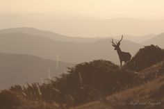 """500px / Photo """"Deer in the mountains"""" by stephanie augras"""