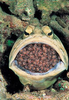 A male jawfish is seen with eggs in his mouth in the Philippines.