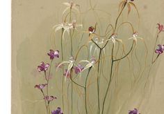 May Gibbs (Australian, 1877-1969). W.A. Orchids, 3 kinds. 1903. Watercolour.