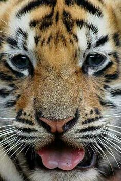 you think its cute but im training Tiger