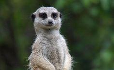 Meerkat Adorable Cute Animals, Mammals, Giraffe, Google Search, Digital, Photos, Inspiration, Art, Biblical Inspiration